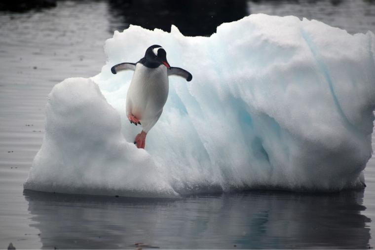 A Gentoo penguin leaps off an ice flow into Mikkelsen Harbor, Antarctic Peninsula