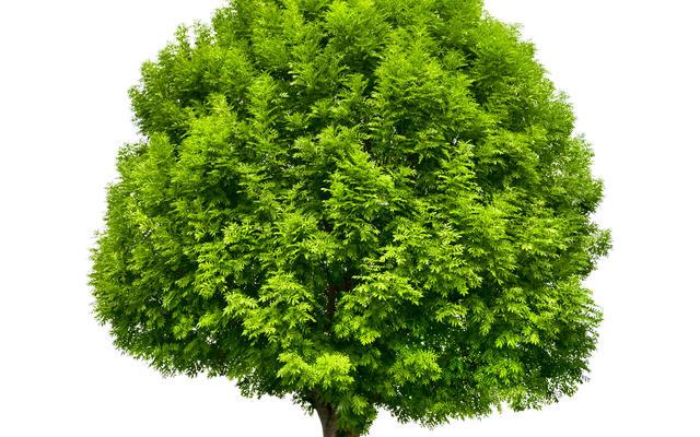 An ash tree