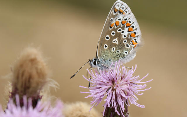 A common blue butterfly, sat on a purple flower