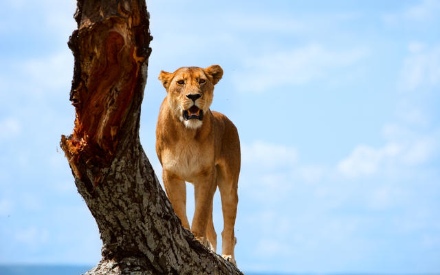 A lioness stood on a tree