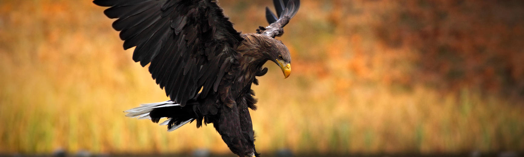 White-tailed Eagle, Haliaeetus albicilla, hunting fish from the water, with brown grass in background, in Norway.