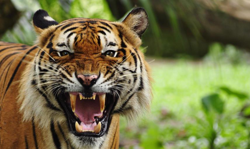 A roaring tiger