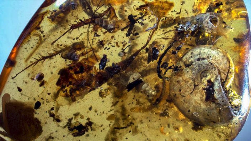 A piece of Burmese amber with the ammonite amongst the items trapped within it