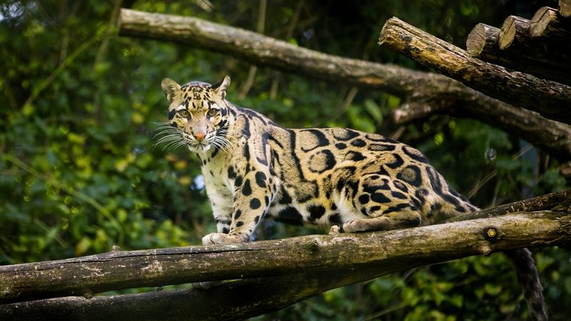 A clouded leopard stood on a branch
