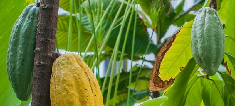 Cocoa pods, hanging from a tree