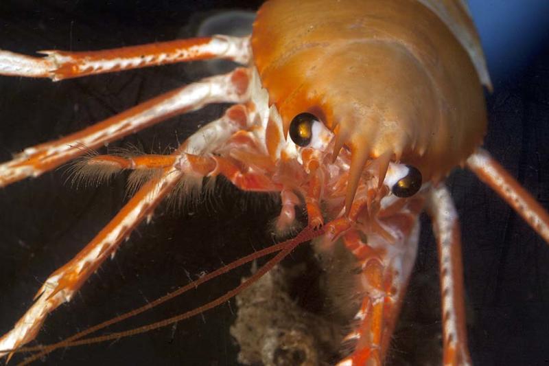 An Eumunida squat lobster