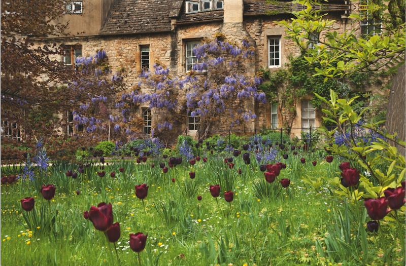 Tulips growing in a lawn, with wisteria-clad cottages in the background
