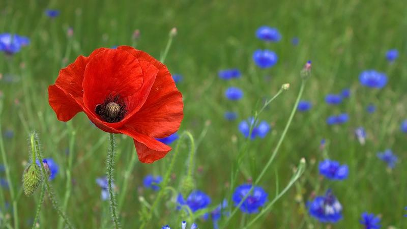A poppy in a field, surrounded by smaller blue flowers