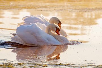 Two swans on a sunset lake