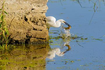 Bird capturing a fish in a pond