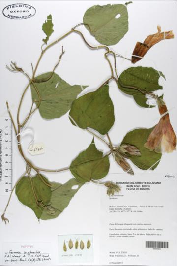 Botanical drawing of leaves